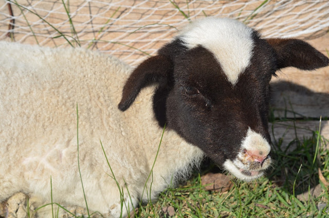 Our little lamb