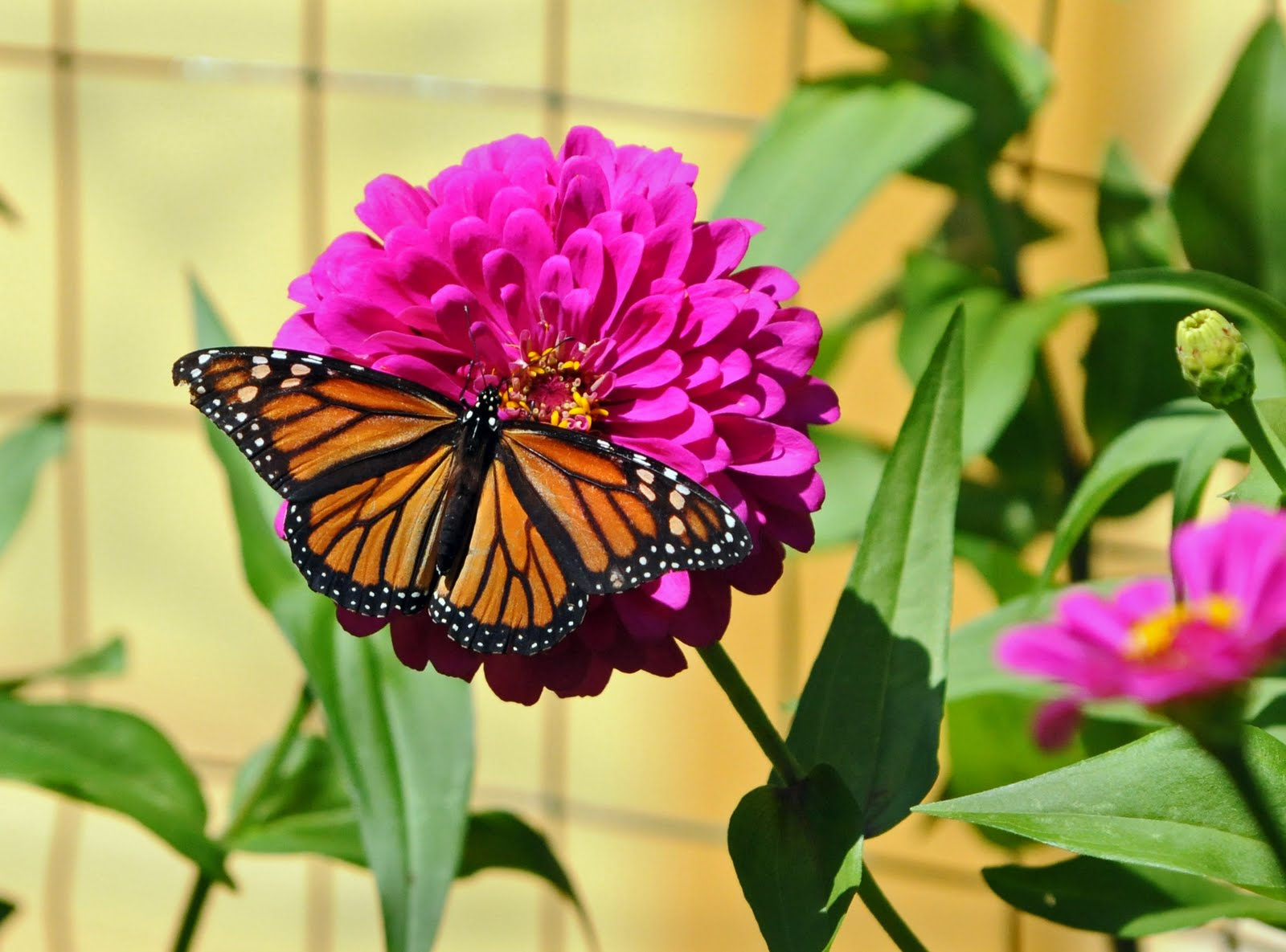 Monarch & Zinnia, by W.Taylor