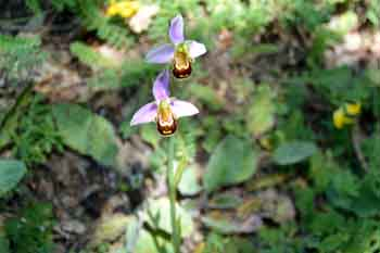 Ophrys apifera (Ofride fior di api)