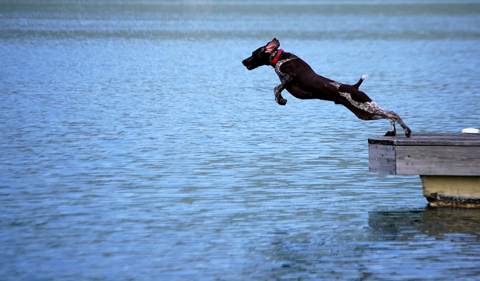 dog, lake, pointer, jump, summer