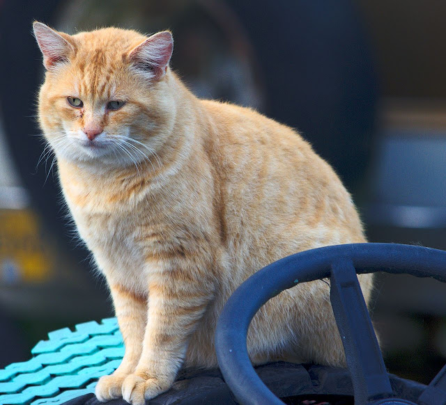 Orange bobtail cat on tractor