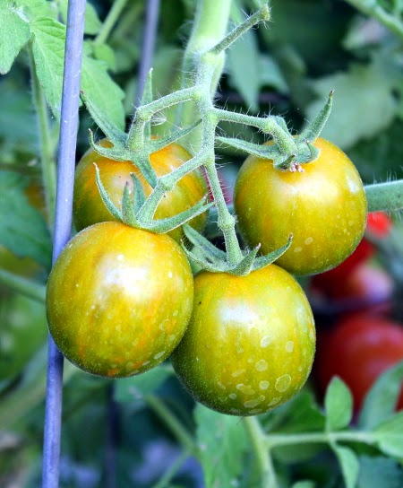 Homegrown garden tomato harvest: Green Grape tomatoes