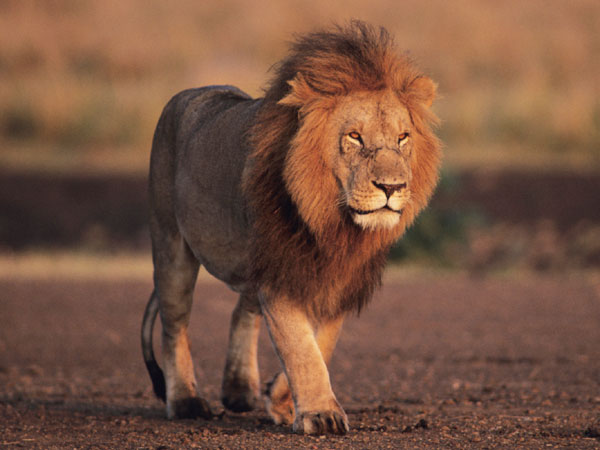 A Stylish walk of 'King' Lion