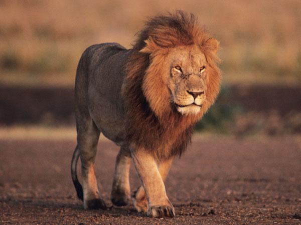 A Stylish walk of 'King' Lion