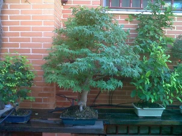 Cultivo f cil del bonsai noviembre 2013 - Cultivo del bonsai ...