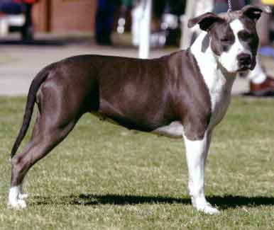 boxer vs american staffordshire terrier essay