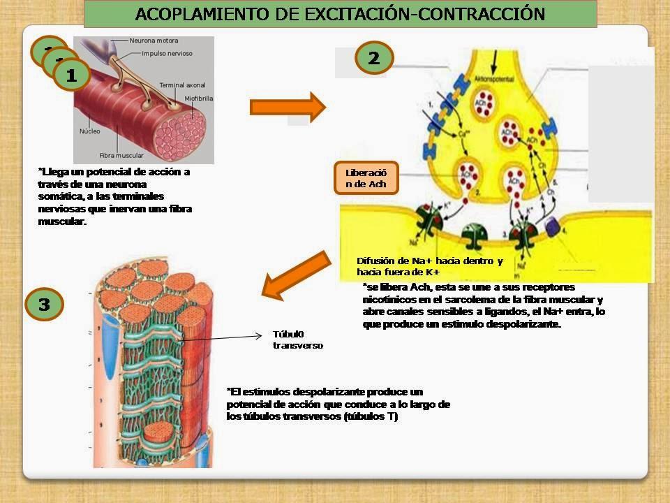 EXCITACIÓN- CONTRACCIÓN MUSCULAR. | Blog de Fisiología Médica