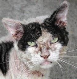 Gato com sarna demodécica