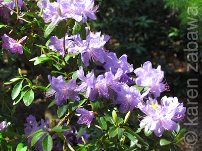 Pale lilac blossoms on Rhododendron Bluenose, a Brueckner hybrid.