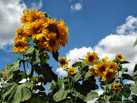 Highest sunflowers in bloom
