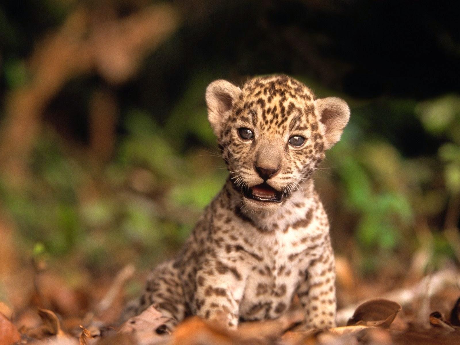 LEOPARDO Leopard Panthera pardus