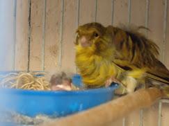 Canária Frisada com seus 4 filhotes.
