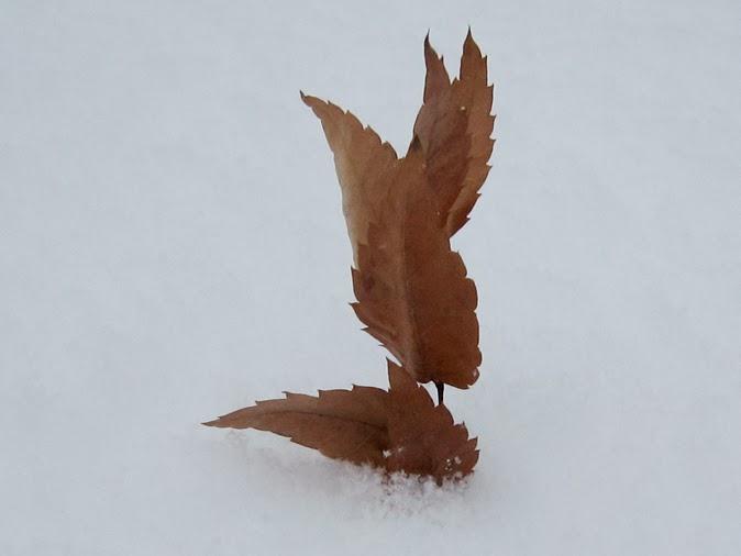 雪の上に落ちたケヤキの枯葉