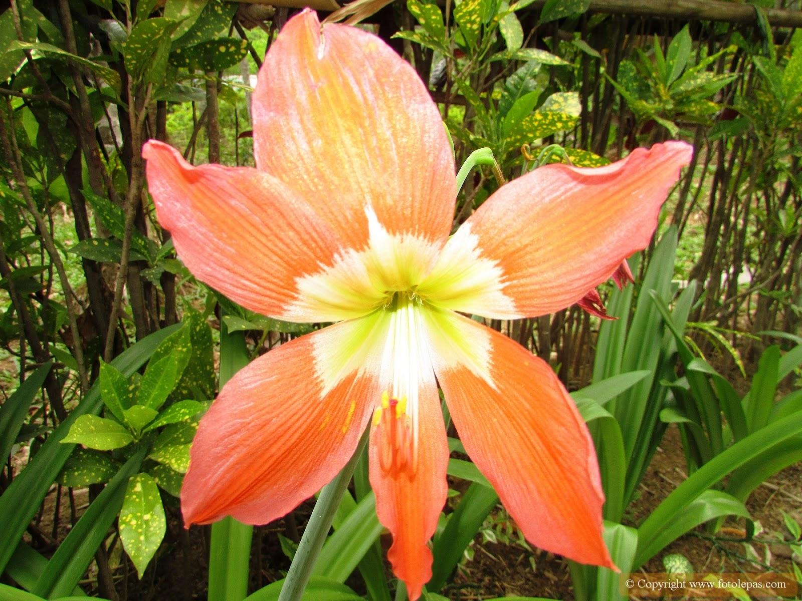 Bunga Tawny Daylily