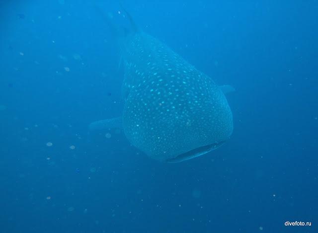 Китовая акула фото
