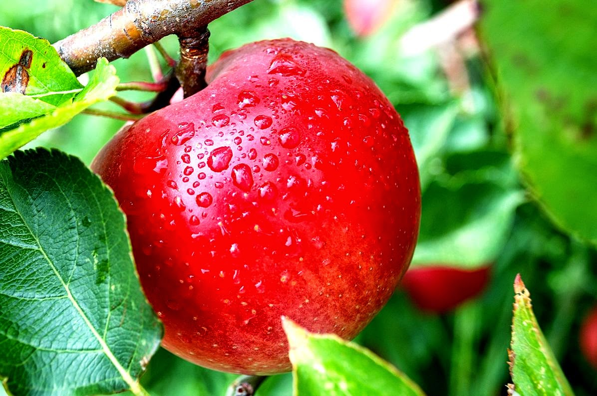 Manfaat Apel untuk Penyakit Batu Empedu