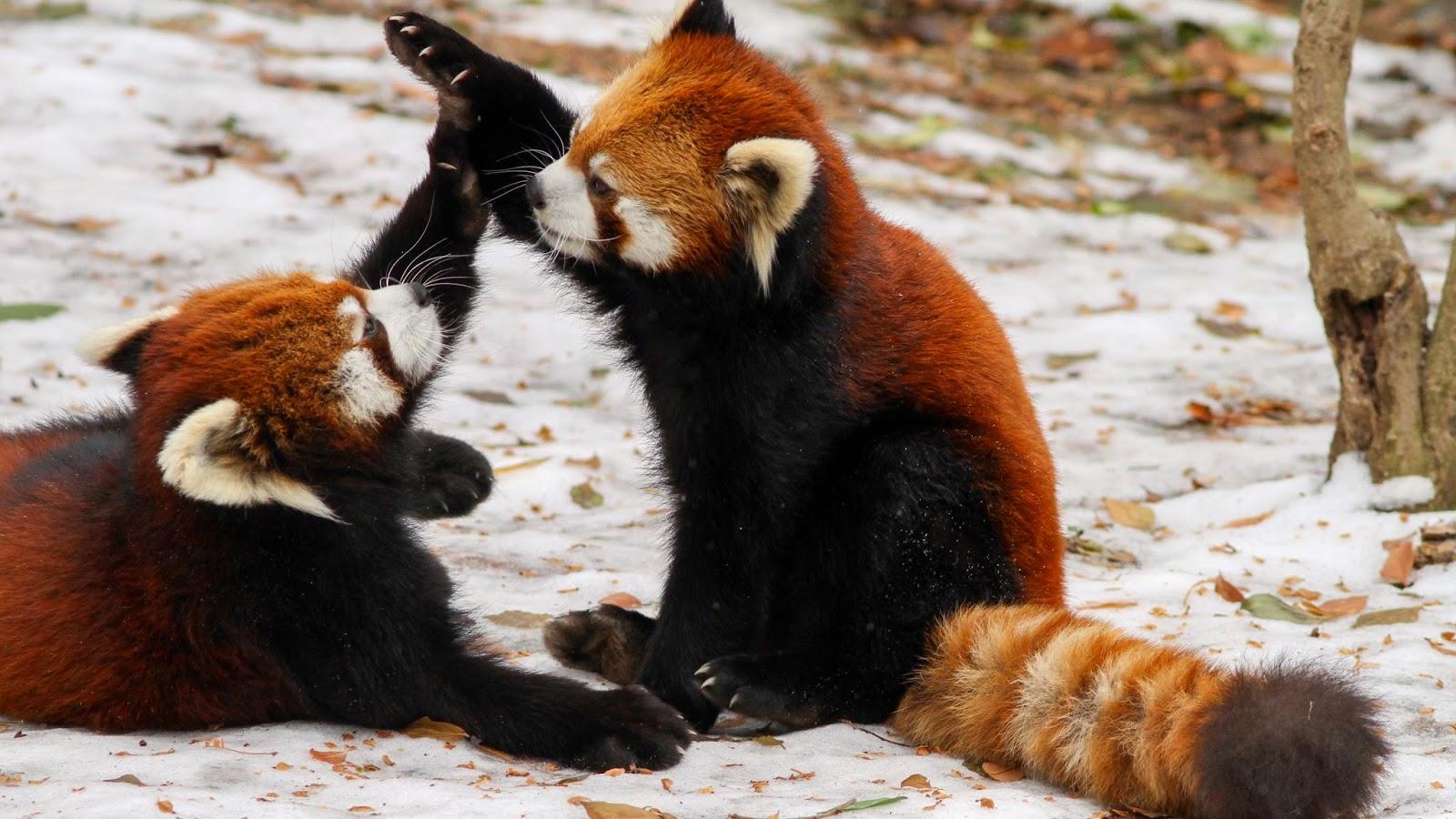 ハイタッチするレッサーパンダ