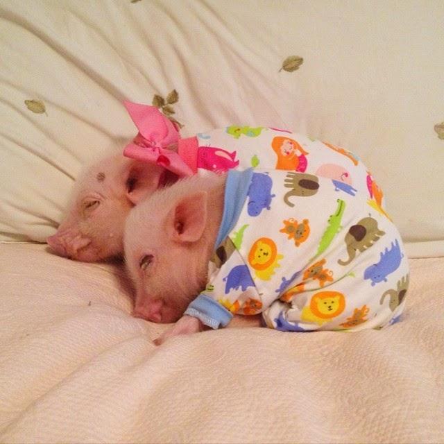 fotos de mini pigs