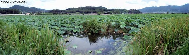 Estanque de lotos en un pueblo de Corea