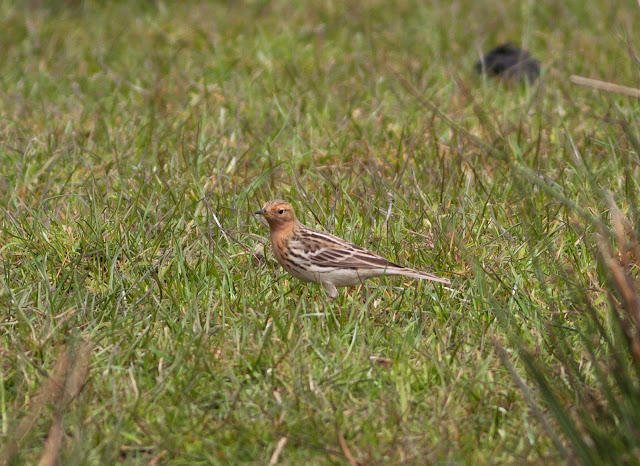 Red-throated Pipit - Ludworth Moor, Derbyshire