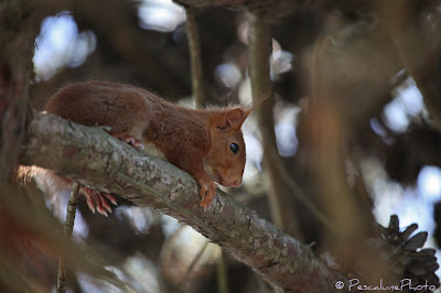 Ecureuil roux (Sciurus vulgaris), Red squirrel