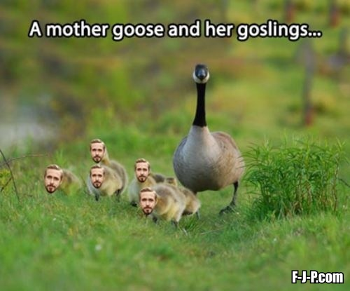 A mother goose and her goslings photo image joke