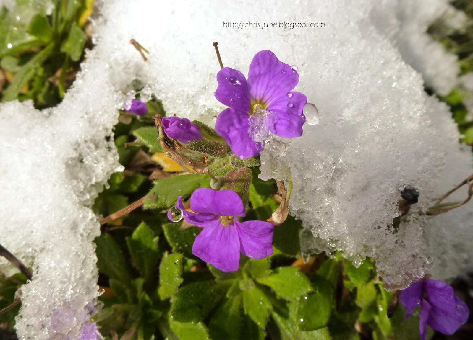 Blümchen im Schnee