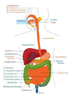 menneske kroppens organsystemer