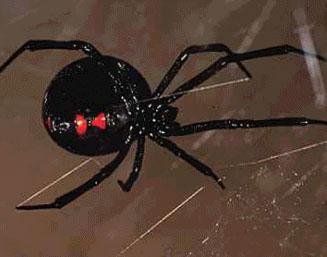Me encontre una araña rara muy pequeña