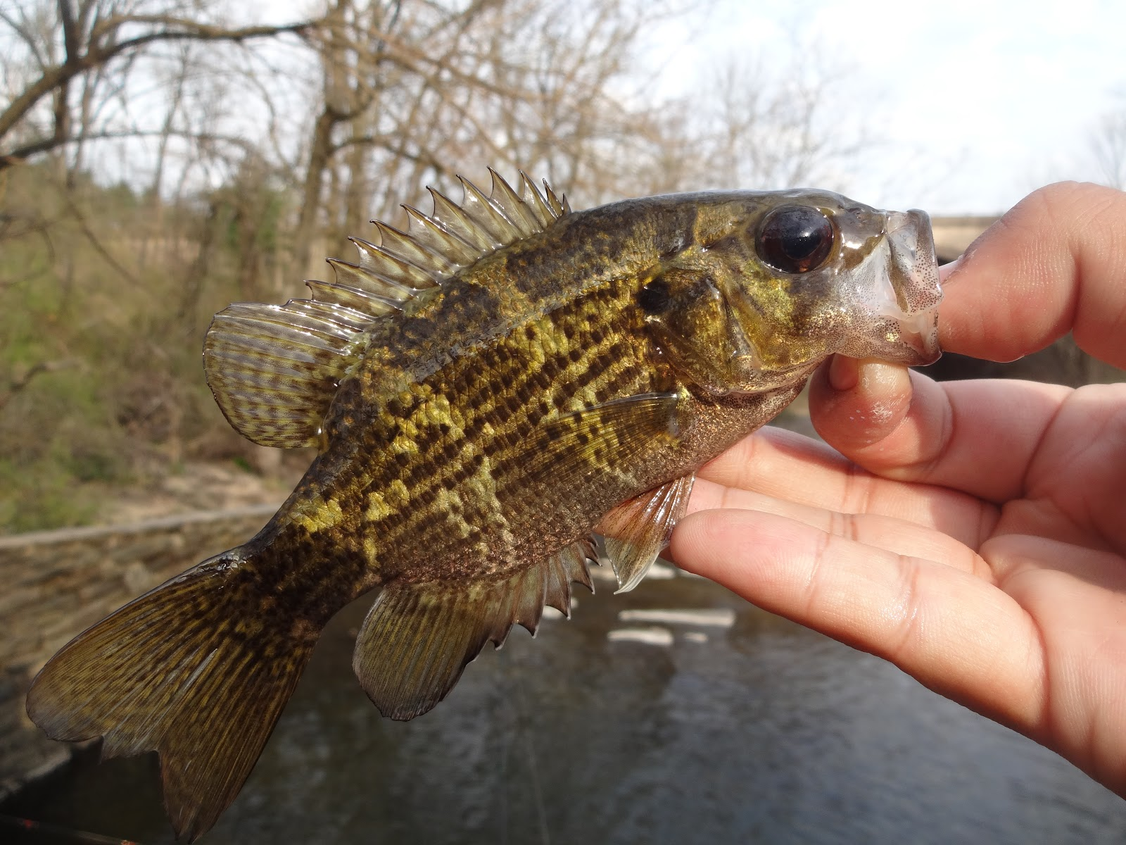 Baby rock bass fish for Rock bass fish