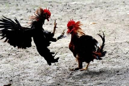 Que significa soñar con pelea de gallo