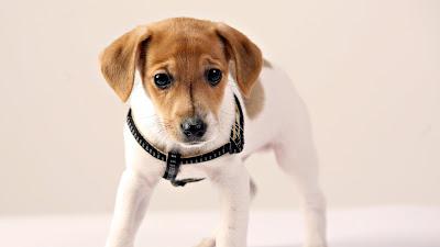 Un perrito bonito y muy juguetón (Mascotas Esenciales)