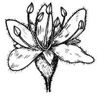 Realistic acacia flower coloring pages