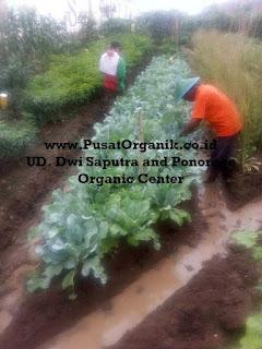 Sayur Organik: Pengertian dan Manfaat Sayuran Organik