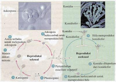 Siklus Reproduksi Ascomycota