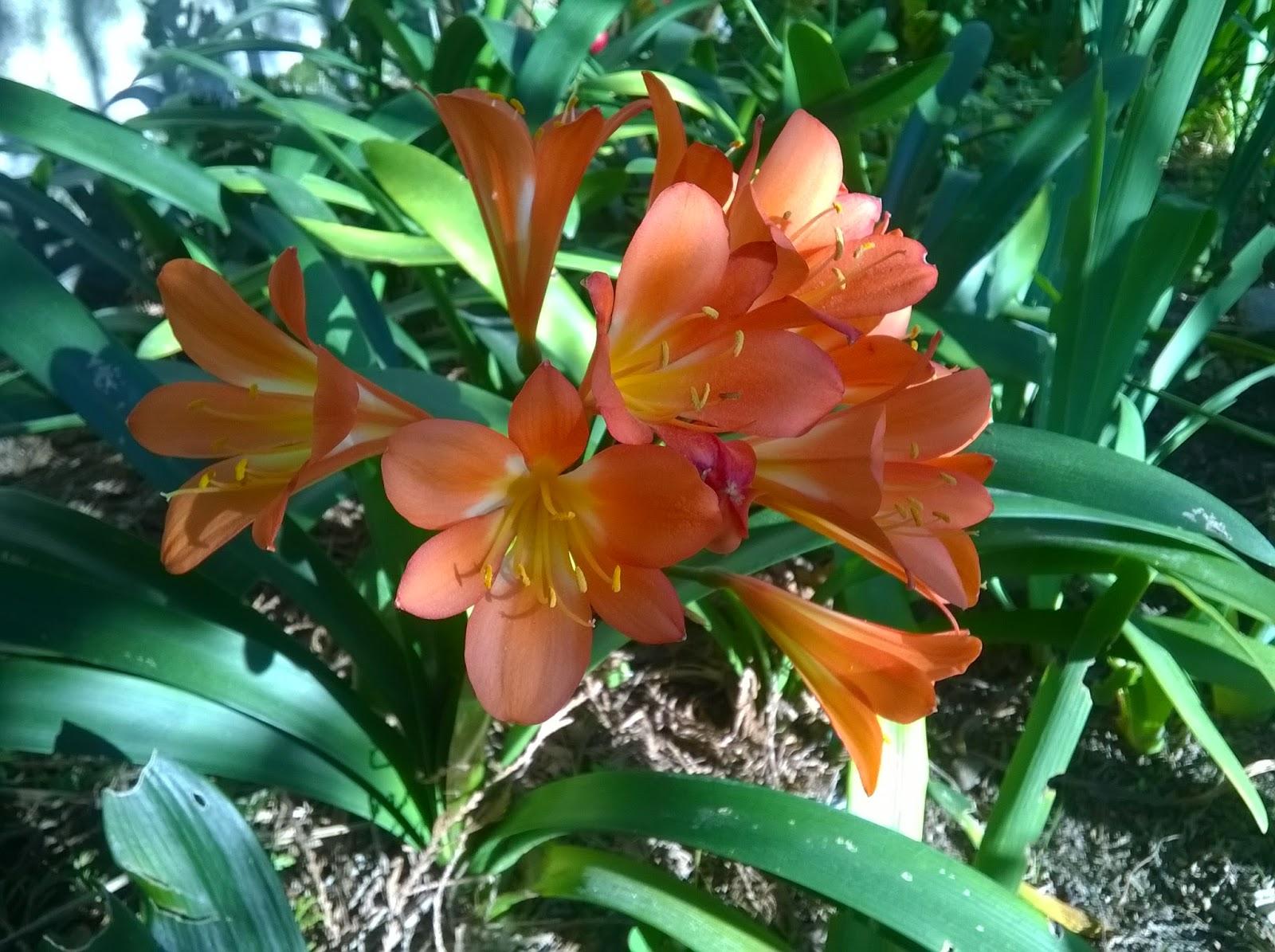 Tienda de plantas clivia miniata - Plantas de jardin exterior ...