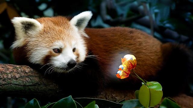 Fire Fox Panda