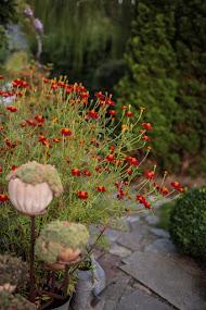 Blommande Linnétagetes