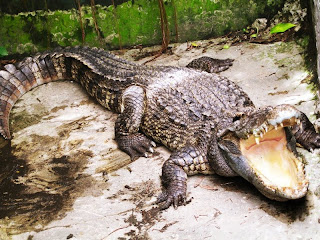 Crocodile Breeding in East Kalimantan