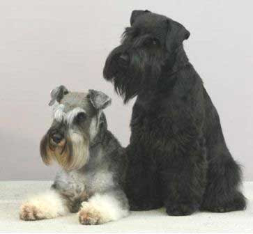 Schnauzer Puppies on Schnauzer Puppies Images   Puppies Pictures Online