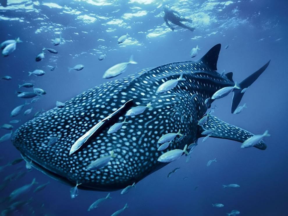 اسماك القرش تحت الماء 2.jpg