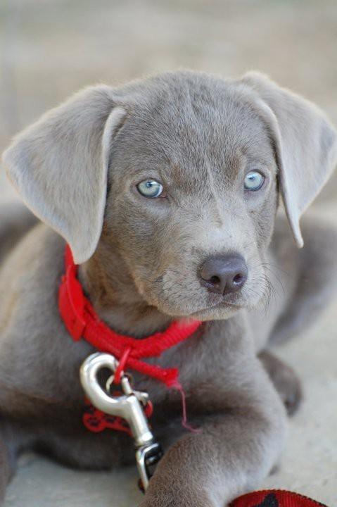 Silver Lab Puppies Wallpaper Desktop HD