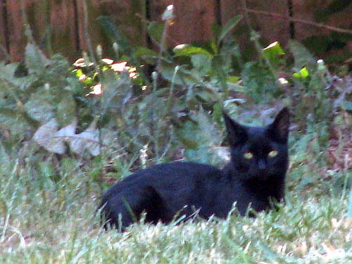 british shorthair cat tabby