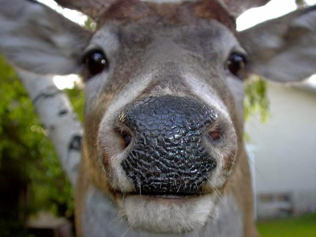 A Deer's Nose
