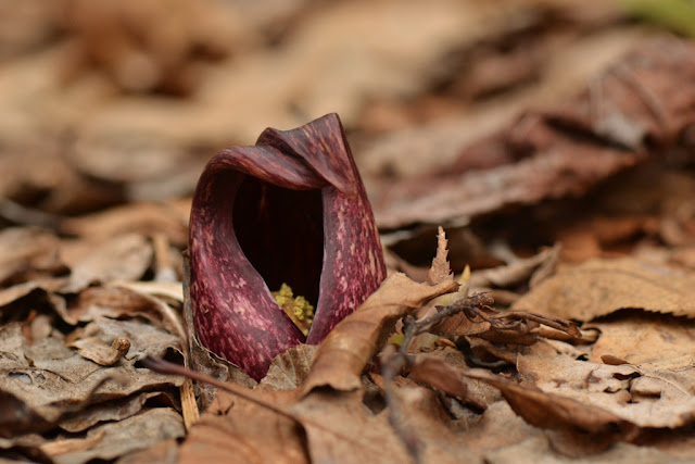 reddish skunk cabbage hood or spathe