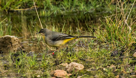 Grey Wagtail remaining at Middleton for 2014/5 winter (Janet Packham)