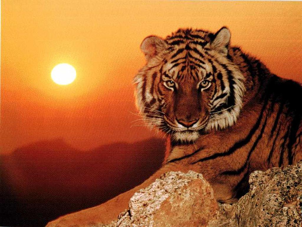 http://1.bp.blogspot.com/-8otTDpX7L8I/TYp5lhoWrjI/AAAAAAAAANA/DTMMGbHgOAw/s1600/tigre_2.jpg