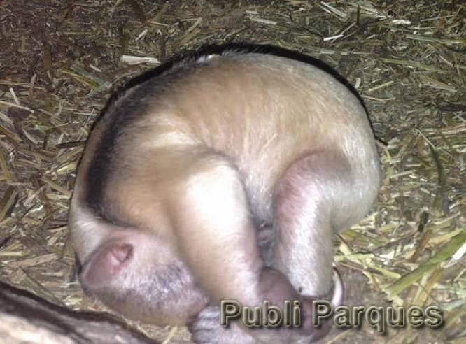 Cría de oso melero de Faunia