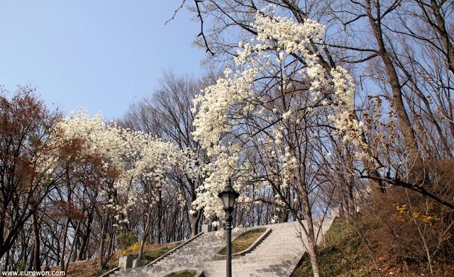 Flores blancas en la montaña Namsan