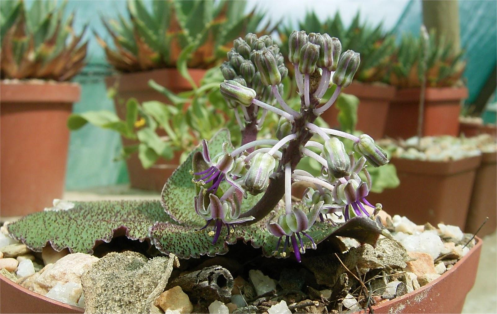 Ledebouria ovatifolia ssp. scabrida  flowers